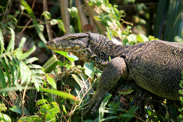 Water monitor or Varanus salvator is reptiles and amphibiansin live in forest of Thailand.