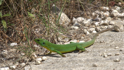 Lizard, Corfu, Greece