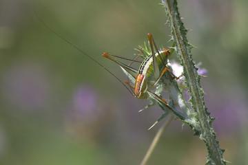 Grasshopper, Corfu, Greece