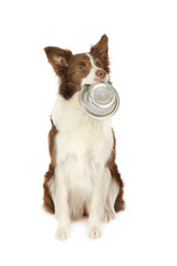 Collie border dog with empty bowl of dog food