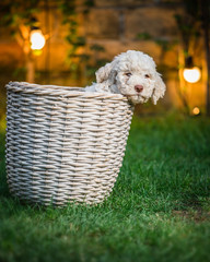 Cute puppy laying in the basket. night scene concept