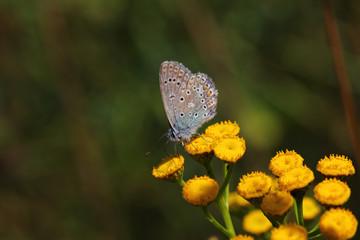 Blue lycaenidae butterfly on the meadow wildflower
