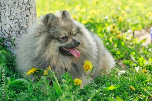 Small Dog Breed Pomeranian Walks Stock Photo And Royalty Free