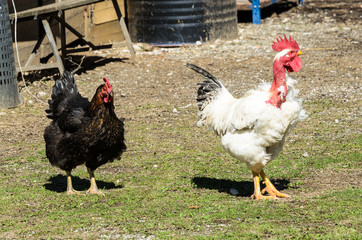 Two roosters in a flock. A white rooster with a plucked neck followed by a black one with a menacing look, who has just won a hard fight