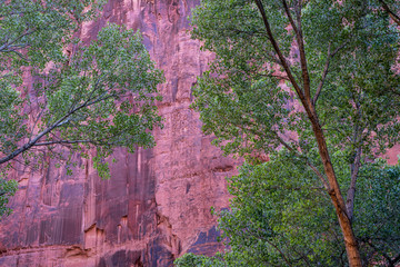 cottonwood trees in sandstone canyon