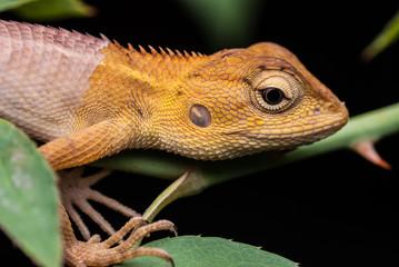 Chameleon for food at night.