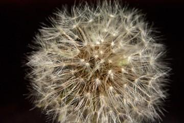 fluffy ball of dandelion on black background2