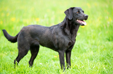 Black labrador retriever on the grass