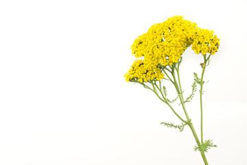 Yarrow Flowers Isolated on White Background
