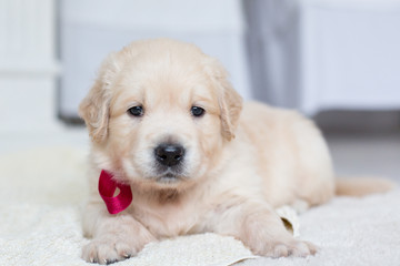 Close up portrait of cute golden retriever puppy with red ribbon lying on the blanket