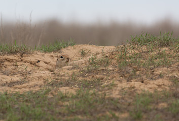 A curious gopher climbed out of the hole and looked around