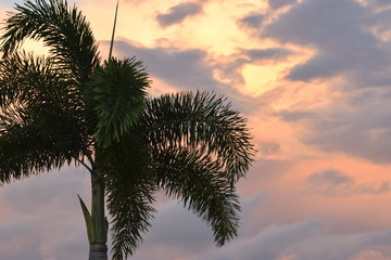 Foxtail palm tree against stunning orange and yellow sunset with clouds.