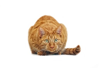 Ginger cat in ambush - isolated on white background.