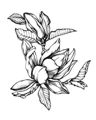 Flower Magnolia liliiflora (also called mulan magnolia). Black and white outline illustration hand drawn work isolated on white background.
