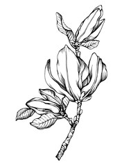 Flower Magnolia liliiflora (also called mulan, tulip magnolia). Black and white outline illustration hand drawn work isolated on white background.