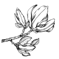 Flower Mulan magnolia (also called lily, tulip magnolia). Black and white outline illustration hand drawn work isolated on white background.