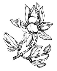 Flower Magnolia liliiflora (also called woody-orchid, tulip magnolia). Black and white outline illustration hand drawn work isolated on white background.