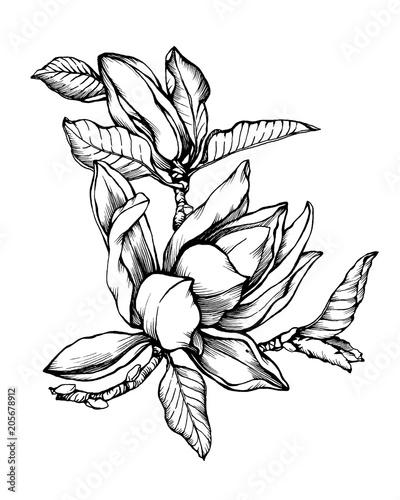 Flower Magnolia Liliiflora Also Called Mulan Magnolia Black And