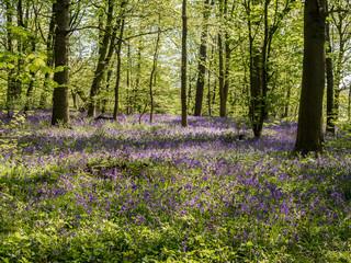 Fotobehang Bossen Beautiful spring bluebells in amazing sunshine at Spring Wood near Burnley, Lancashire, UK