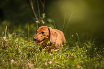 Puppy dachshunds running in the grass