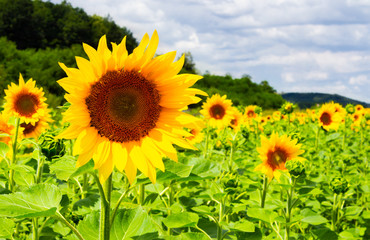 sunflower field in the mountains. lovely agricultural background. fine sunny weather