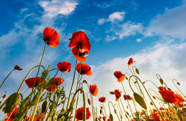 field of red papaver flower with sunburst shot from below. beautiful nature background against the blue sky