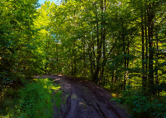 dirt road through forest. lovely nature scenery with tall trees and green foliage