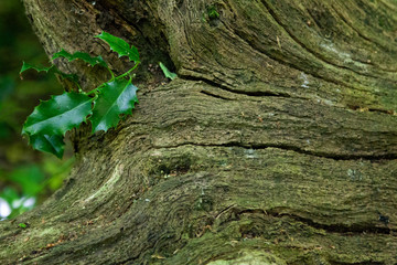 Ivy growing from a decaying tree stump