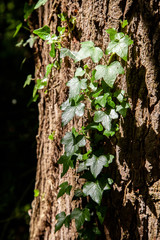 Ivy creeping up a textured tree trunk