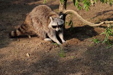Lotor common raccoon next to the tree