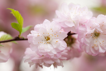 almond tree branch with wonderful gentle pink flowers