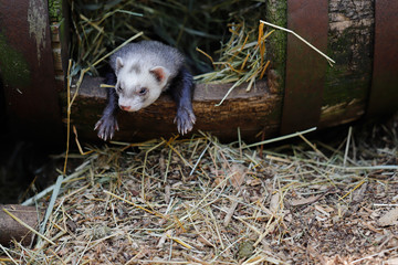 Relaxed adult domestic ferret