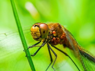 Dragonfly Insect Sitting on Plant Macro Portrait on Green Background