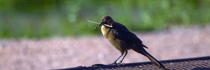 Female Great-tailed Grackle gathers nesting materials in May in Dead Horse State Park near Cottonwood, Arizona