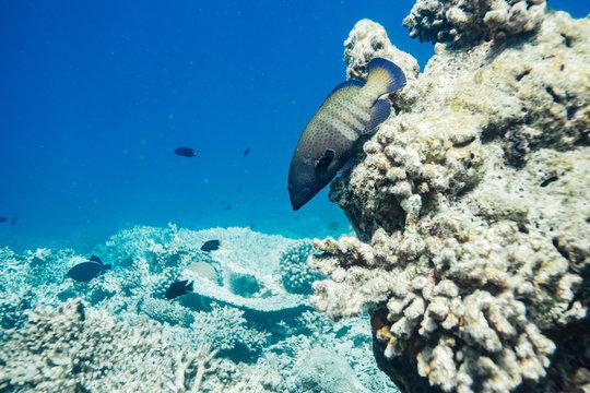 Peacock grouper in the Maldives
