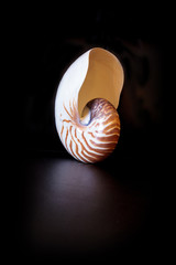 Chambered Nautilus seashell Nautilus pompilius pompilius