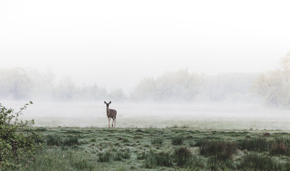 Deer standing in a foggy grassy field