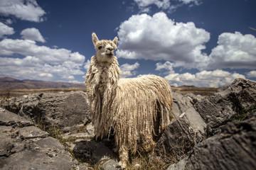 Llamas in Sacsaywaman
