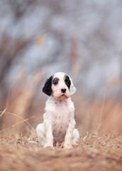 Pretty  puppy. English setter dog.