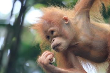 Baby Orangutan portrait