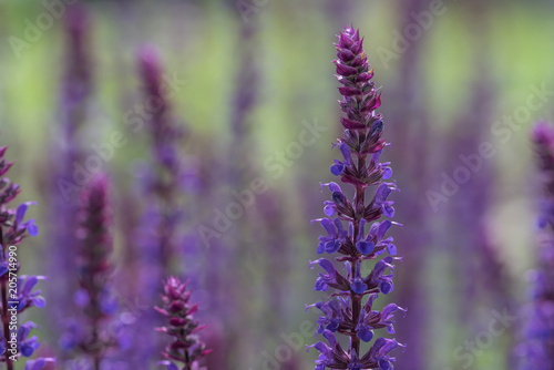 Blühender Steppen Salbei Im Garten