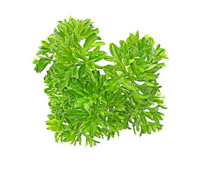 Aromatic fresh green parsley on white background