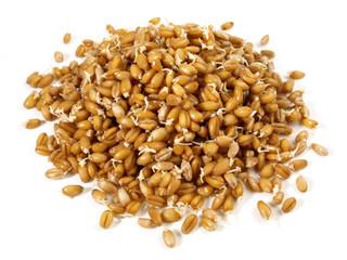 Weizen - Keimlinge