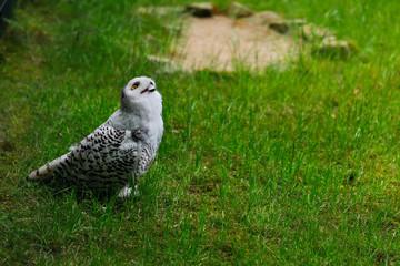 Female polar snow owl on the green meadow