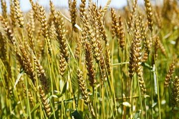 黄金色小麦(農林61号)