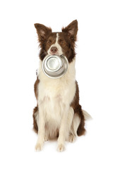 Collie border dog with empty bowl of dog food  in her mouth