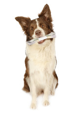 Lovely Collie border dog with money