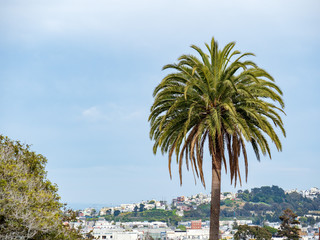 Palm tree hanging high in Dolores Park in San Francisco, CA