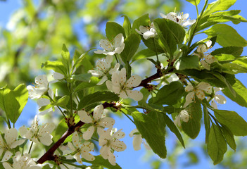 white flowers of a cherry tree in spring