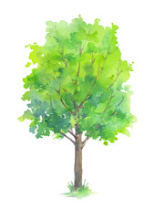 Summer tree with green leaves isolated on white background. Hand painted in watercolor.